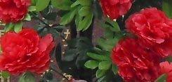 Fleurs d'enterrement